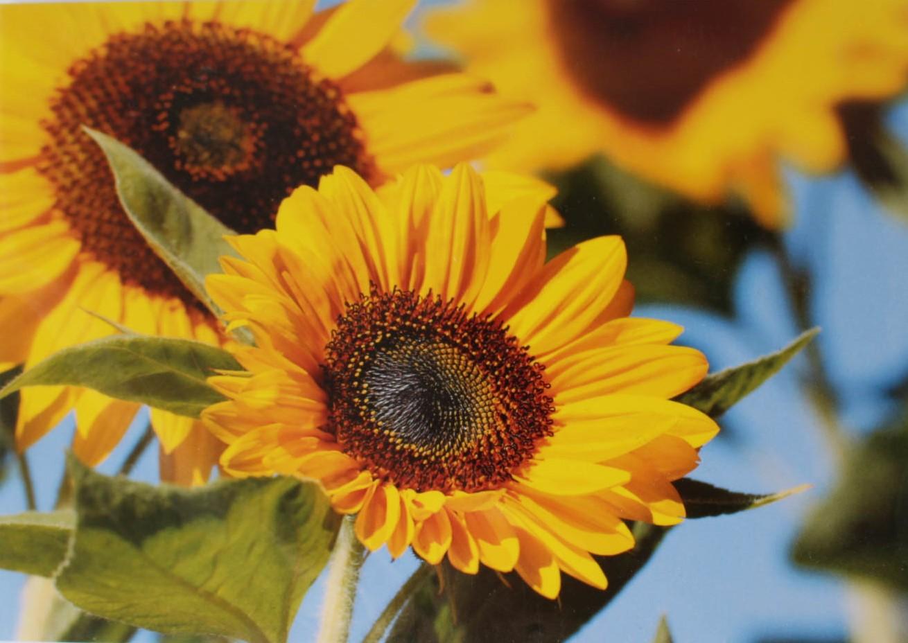 Grusskarte Sonnenblumen
