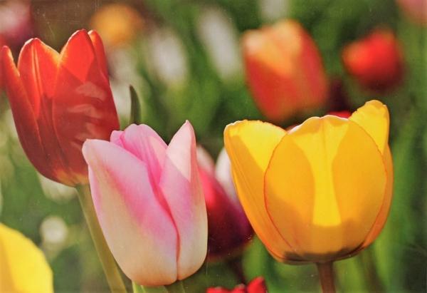 Grusskarte Tulpen